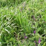 BP_pampaarenosa_ficha6_Siembra directa de soja con cultivos de cobertura
