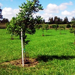 BP_sudestebonaerense malacara_ ficha9_Manejo Agrosilvícola de una plantación de nuez pecan consociada con pasturas