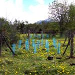 BP_bosque carrenleufu_ficha13_Manejo forestal sustentable aplicado a el Bosque Andino Patagónico con Ganadería Integrada