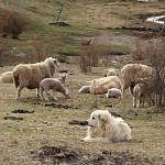 BP_cushamen_ficha12_Perros protectores del ganado